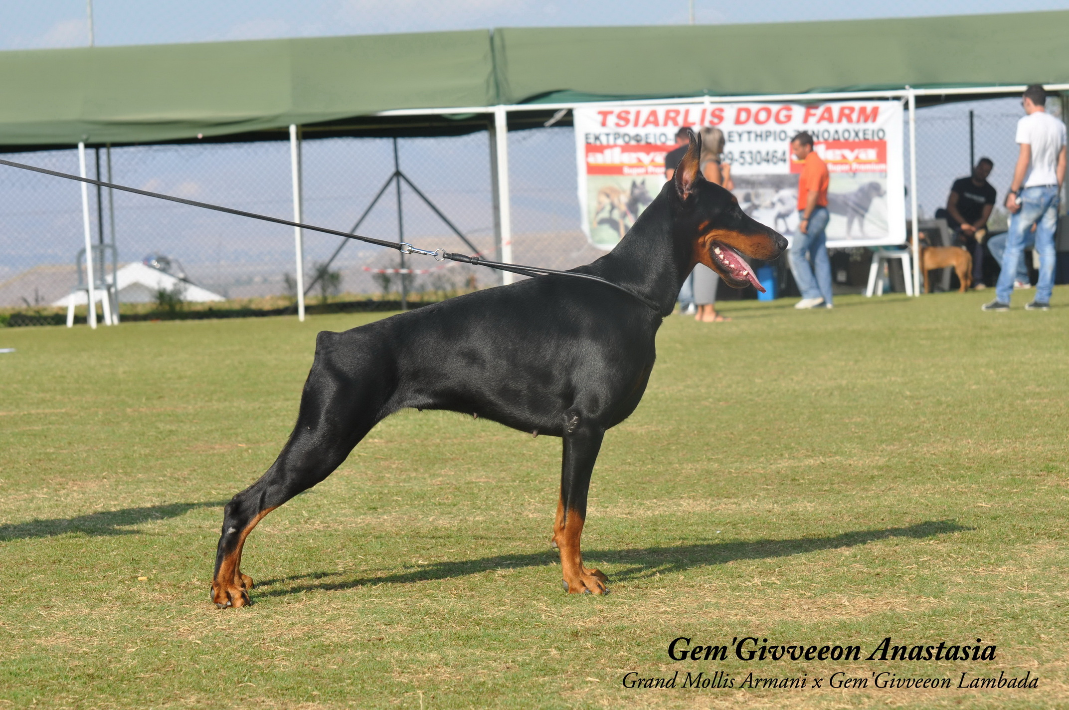 dobermann vf