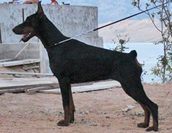 dobermann female