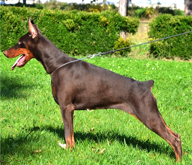 Summary -> Doberman Puppies Canis Maximus Kennel Puppies For Sale
