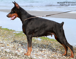 dobermann for sale