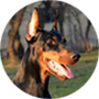 Youth dobermanns