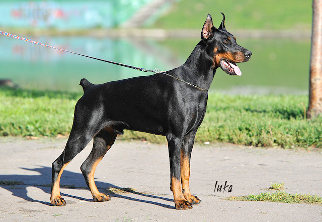 Difference Between Doberman and Doberman Pinscher