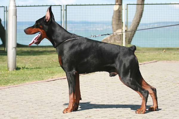 warlock doberman pinscher 18 - photo #36