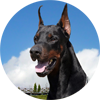 Dobermann shows